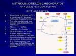 metabolismo de los carbohidratos ruta de las pentosas fosfato ruta no oxidativa