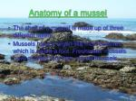 anatomy of a mussel