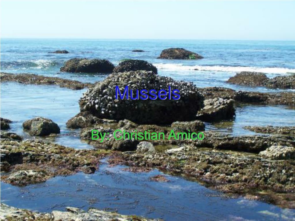 mussels l.