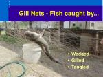 gill nets fish caught by