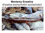 monterey ensatina ensatina eschscholtzii eschscholtzii
