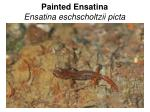 painted ensatina ensatina eschscholtzii picta
