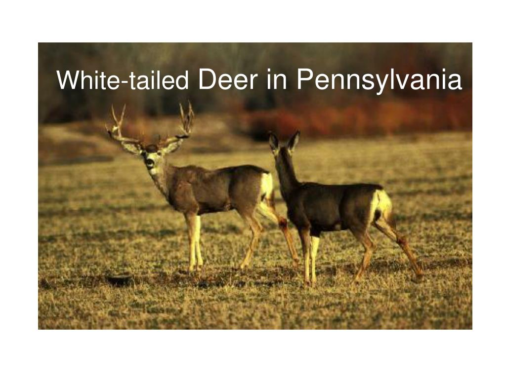 white tailed deer in pennsylvania l.