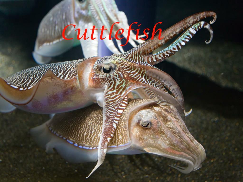 cuttlefish l.