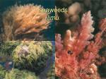seaweeds limu