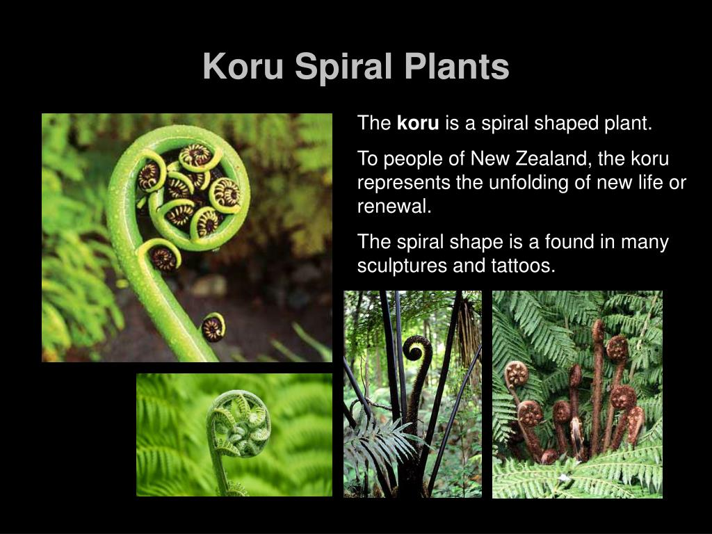 koru spiral plants l.