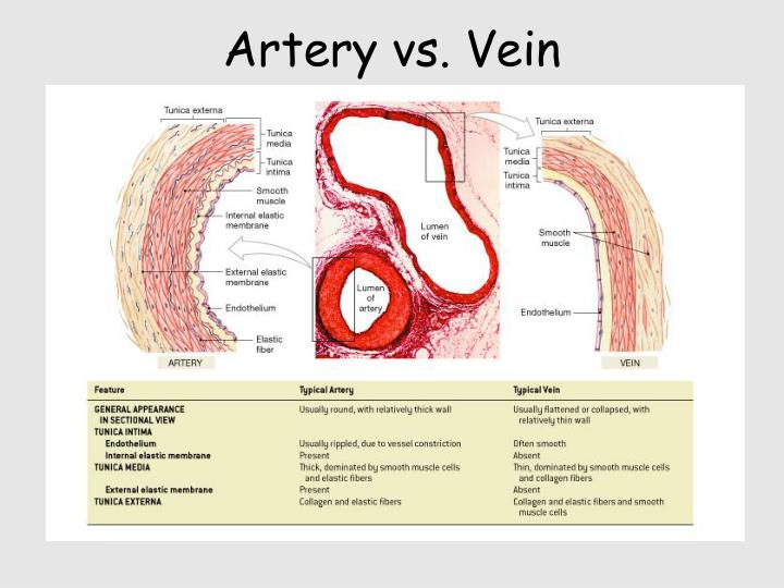Ppt Blood Vessels Powerpoint Presentation Id51462