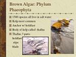 brown algae phylum phaeophyta
