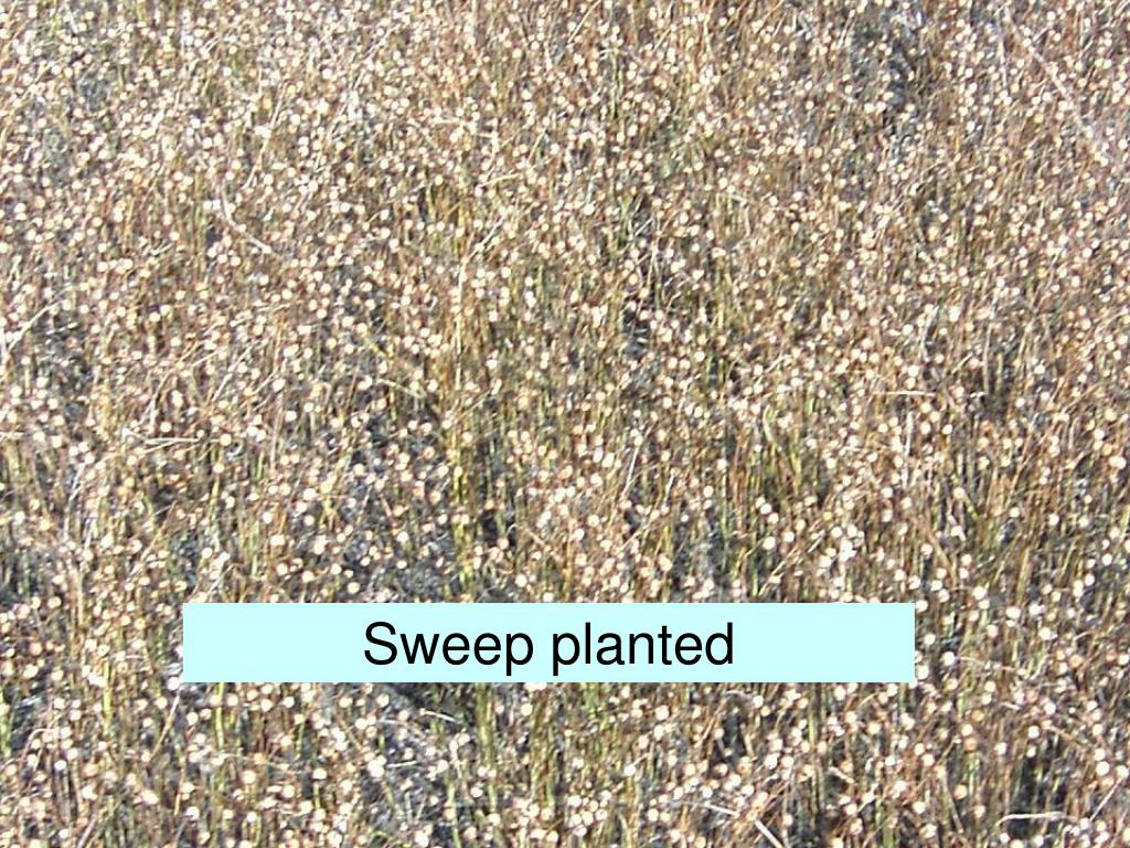 Sweep planted