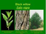 black willow salix nigra