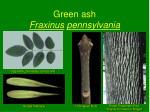 green ash fraxinus pennsylvania