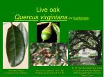 live oak quercus virginiana or fusiformis