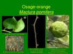 osage orange maclura pomifera