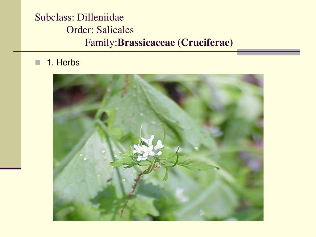 subclass dilleniidae order salicales family brassicaceae cruciferae l.