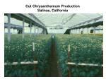 cut chrysanthemum production salinas california