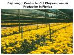 day length control for cut chrysanthemum production in florida