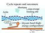 cycle repeats and sarcomere shortens