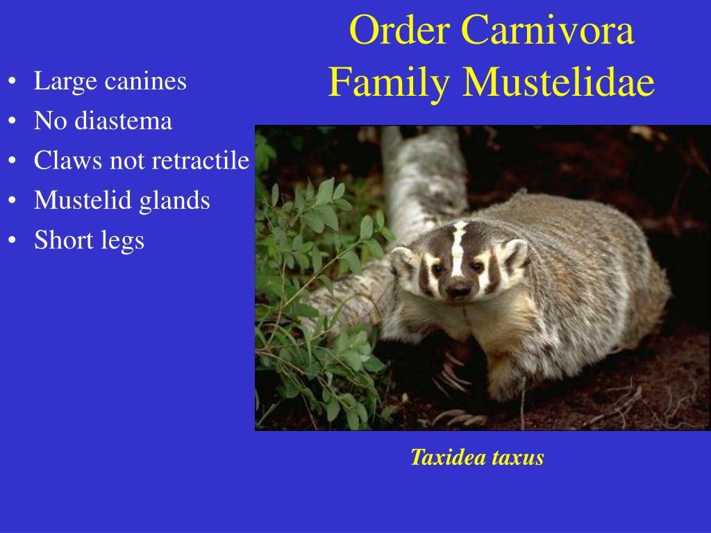 order carnivora family mustelidae l.