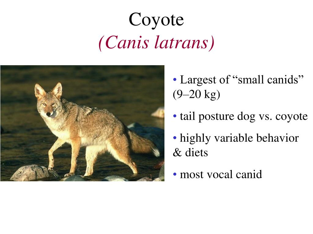 coyote canis latrans l.