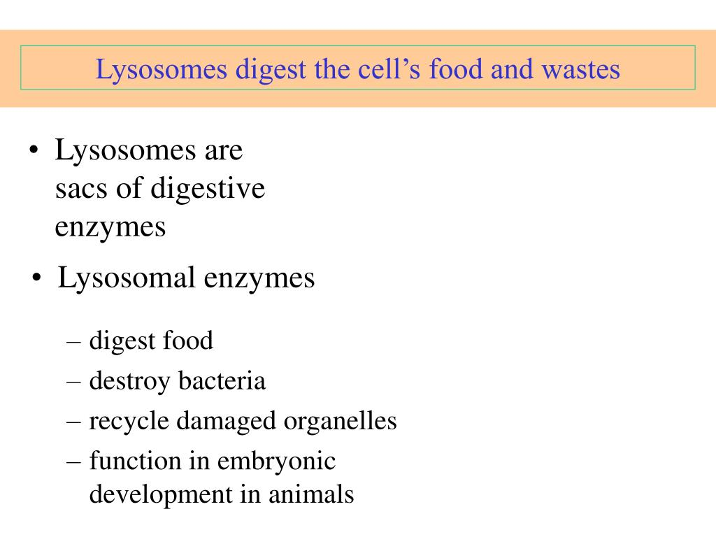 Lysosomes digest the cell's food and wastes