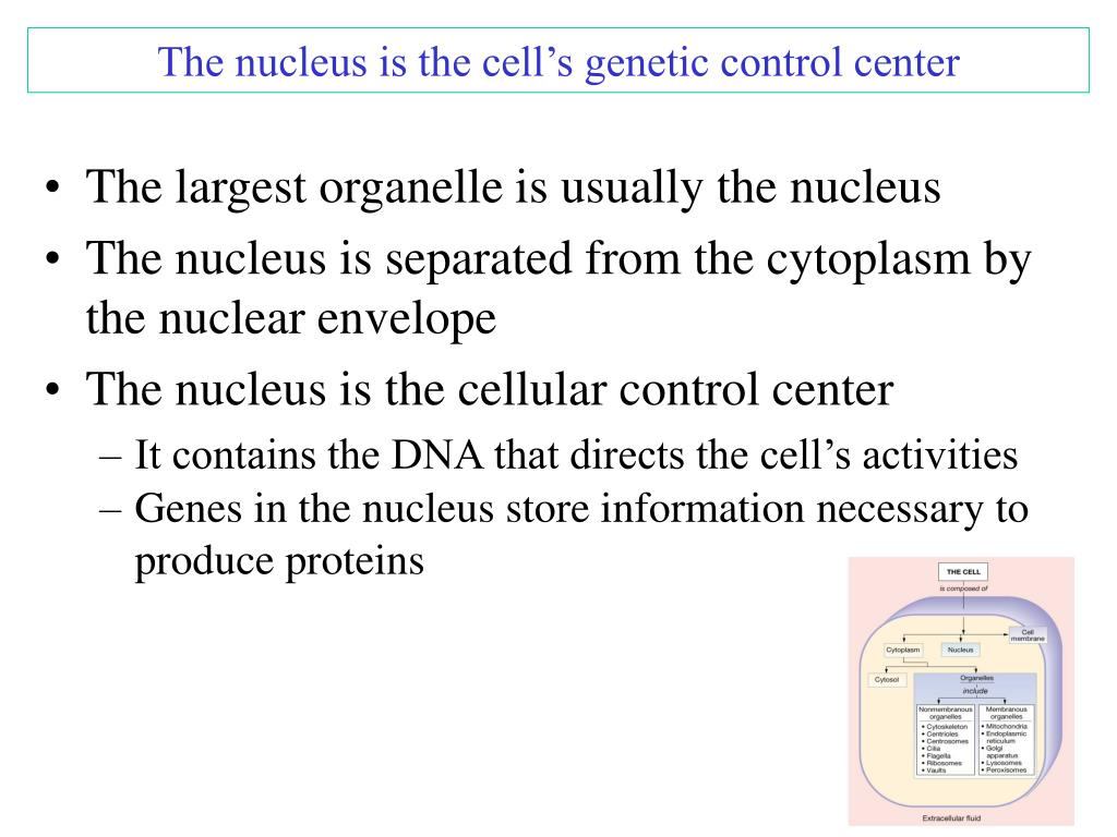 The nucleus is the cell's genetic control center