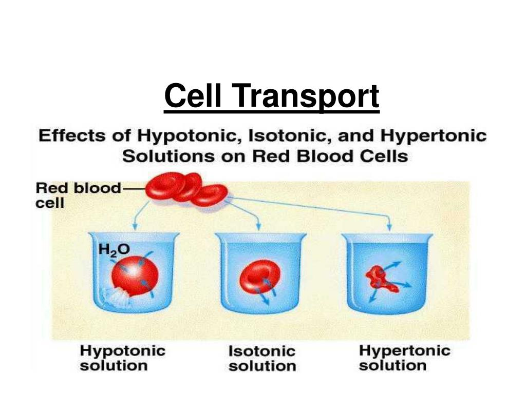 cell transport l.