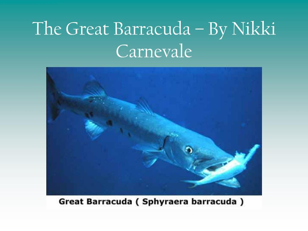 the great barracuda by nikki carnevale l.