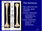 the humerus