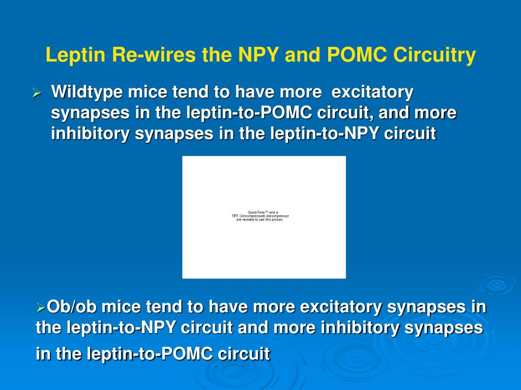 Leptin Re-wires the NPY and POMC Circuitry