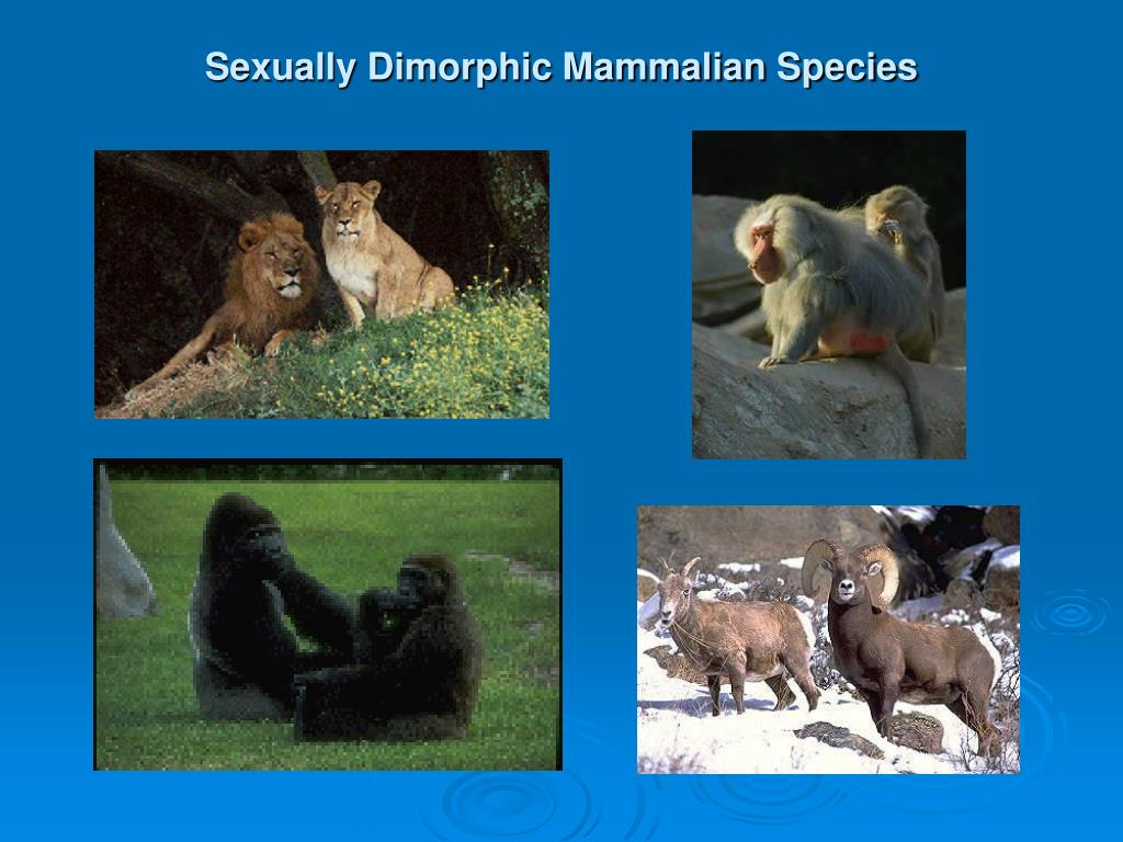 Sexually Dimorphic Mammalian Species