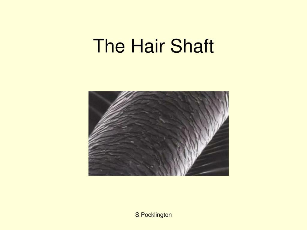 the hair shaft l.