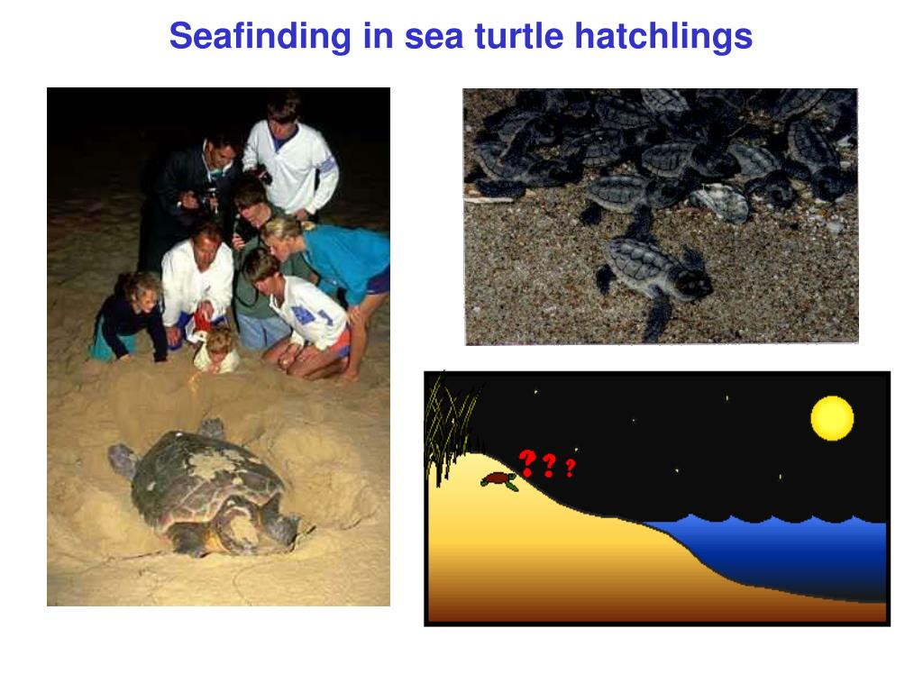 seafinding in sea turtle hatchlings l.
