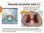 neurones de premier ordre 1