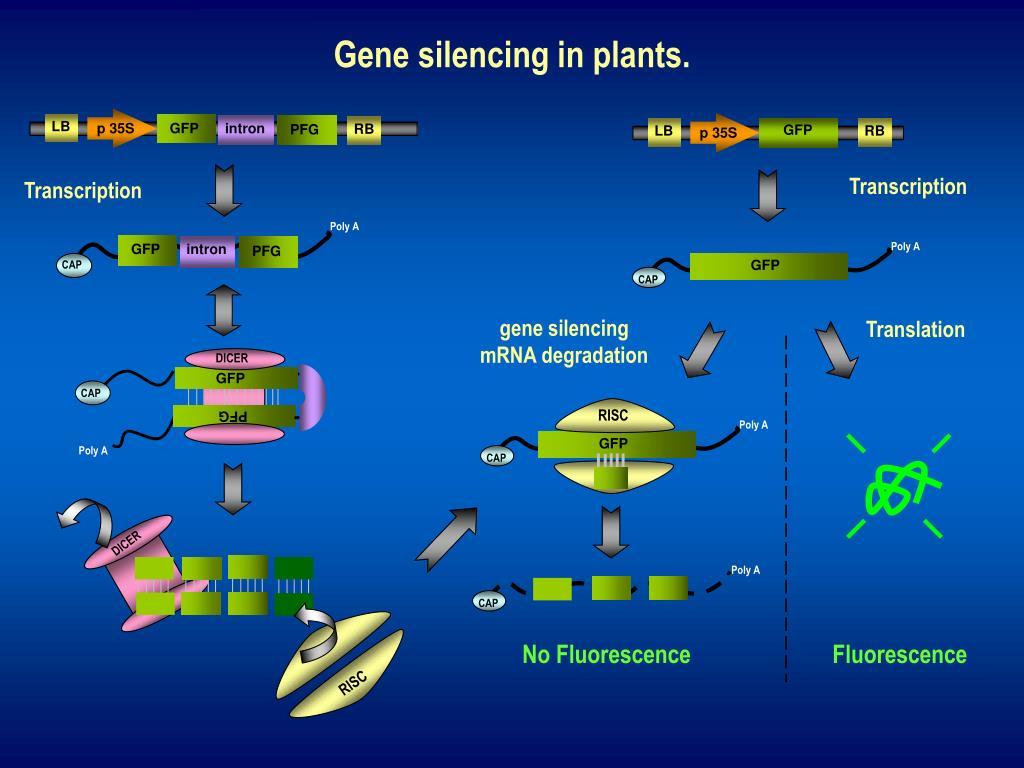 gene silencing in plants l.