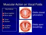 muscular action on vocal folds