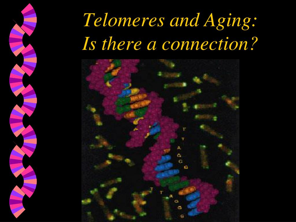 telomeres and aging is there a connection l.