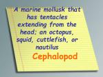 a marine mollusk that has tentacles extending from the head an octopus squid cuttlefish or nautilus