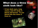 what does a three toed sloth look like
