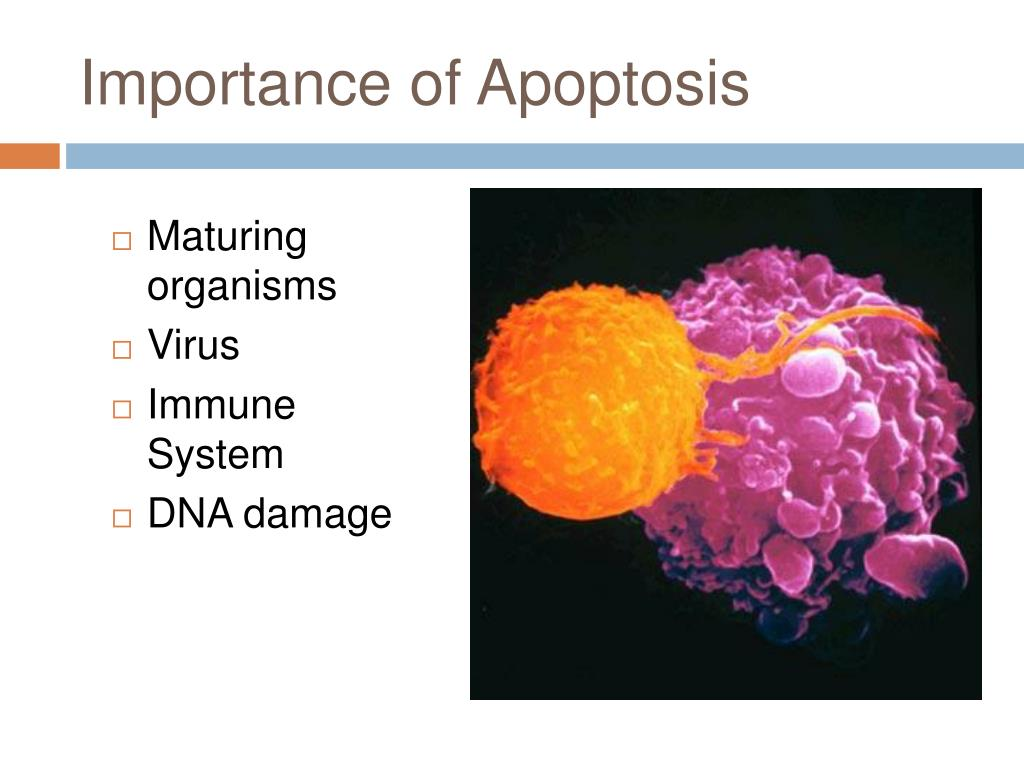 Importance of Apoptosis