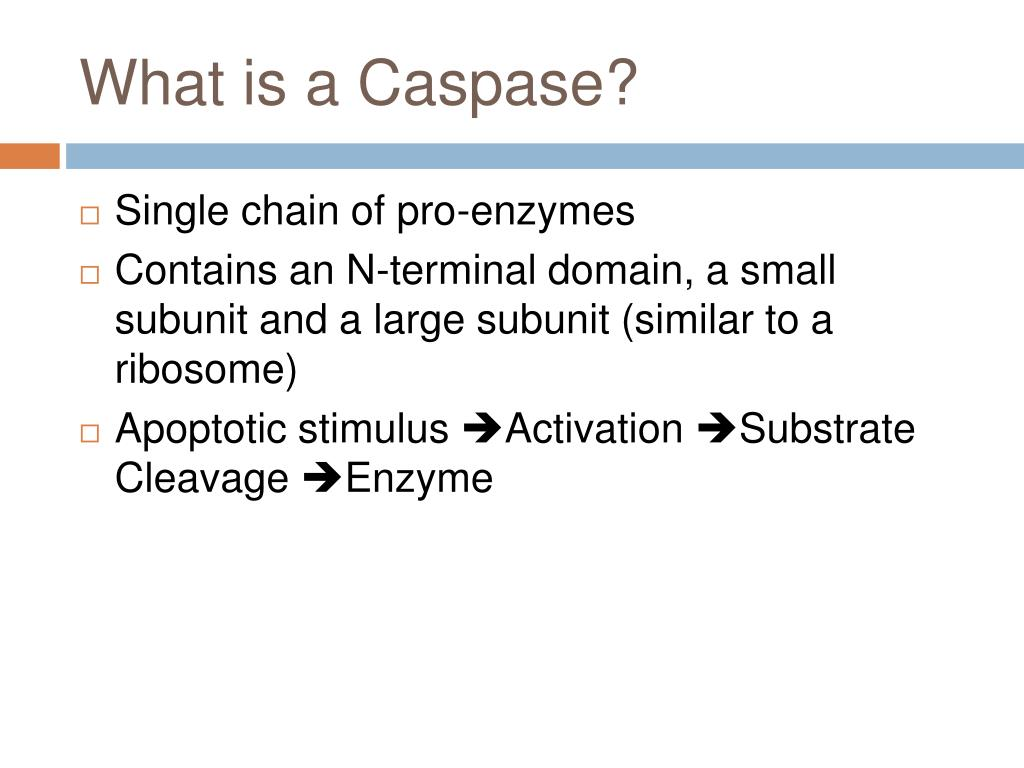 What is a Caspase?