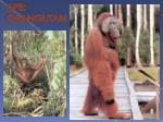 ape orangutan
