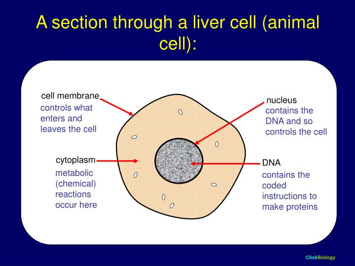 A section through a liver cell animal cell