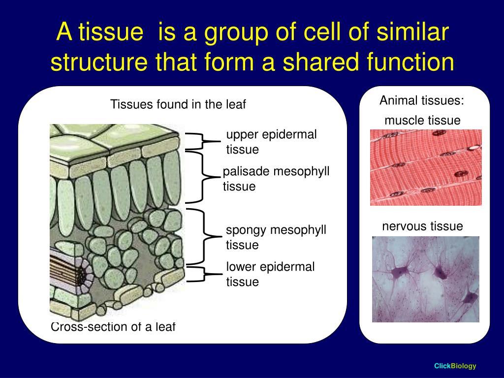 Animal tissues: