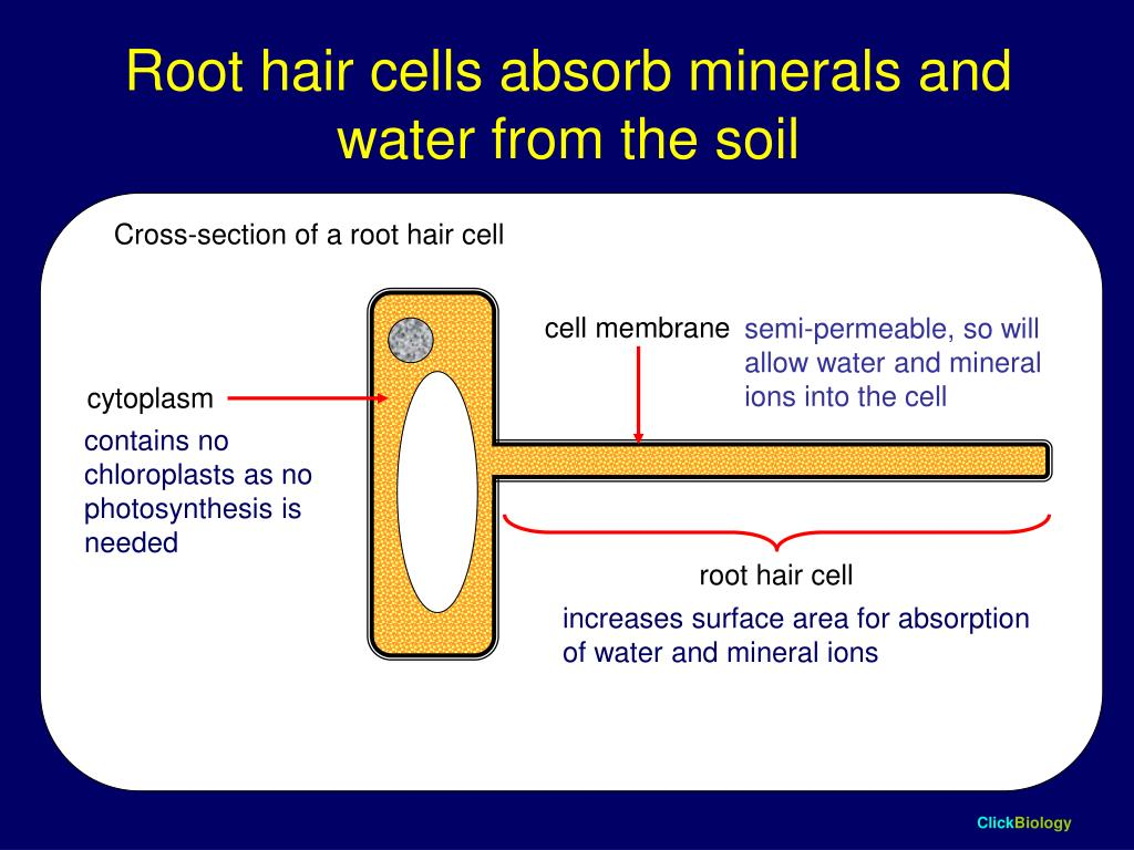Root hair cells absorb minerals and water from the soil