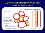 xylem vessels transport water and minerals up the plant