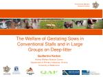 the welfare of gestating sows in conventional stalls and in large groups on deep litter