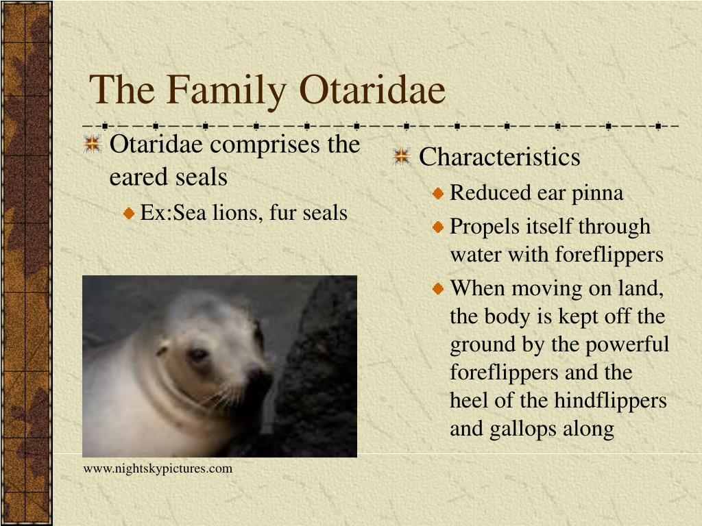 Otaridae comprises the eared seals