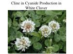 cline in cyanide production in white clover