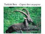turkish ibex capra ibex aegagrus