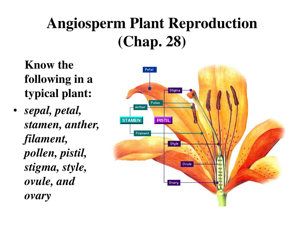 angiosperm plant reproduction chap 28 l.